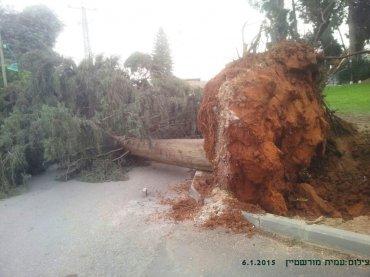 שרשי העץ שנעקרו