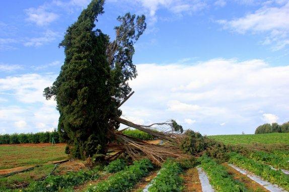 עץ הברוש הבודד - גם הוא נשבר -צילום של יגאל שרגיאן