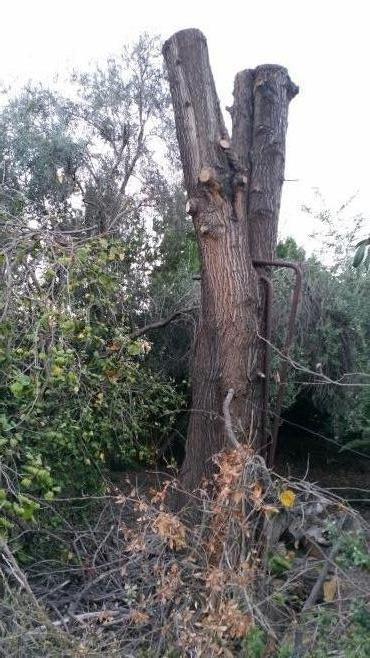 גזע הגרבילאה בחצר של דנציגר, נכרת בסערה ונשאר כעדות לנזקים שלא שוקמו