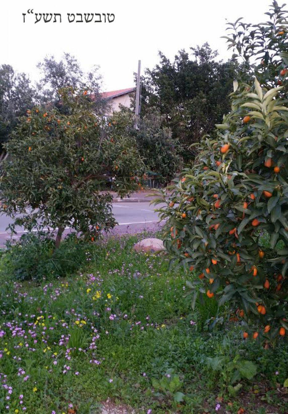תחילת פריחת החורף ופרי הקונקוט - התפוזונים. צילום: ליליק
