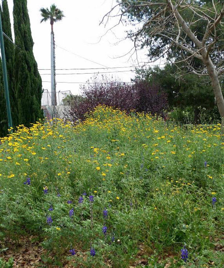 הפריחה ליד מועדון התרבות בחודש ניסן. צילום: ליליק