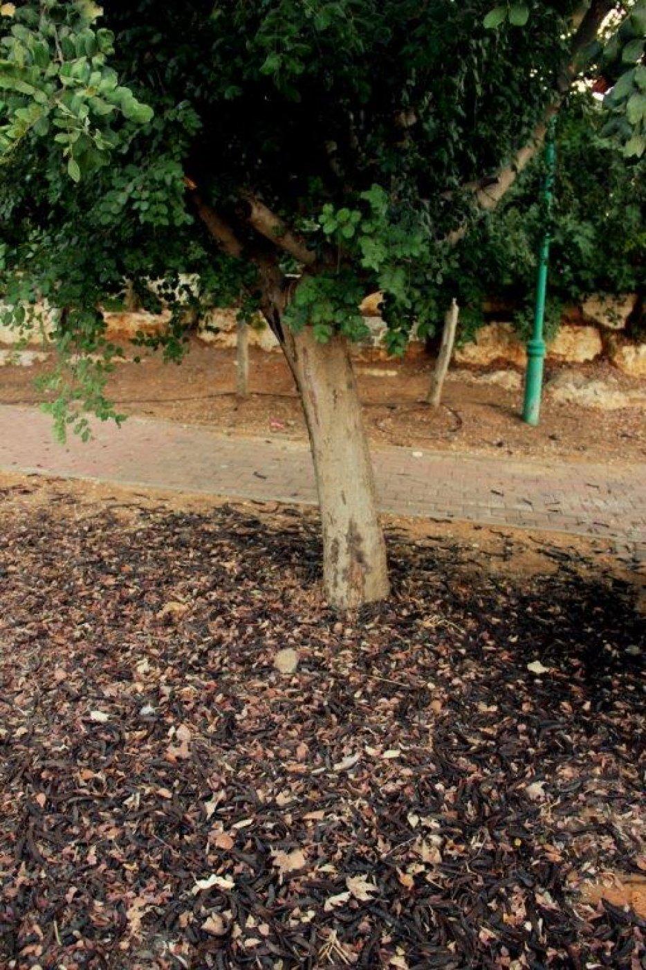 חרובים רבים נשרו ונערמו ליד העץ