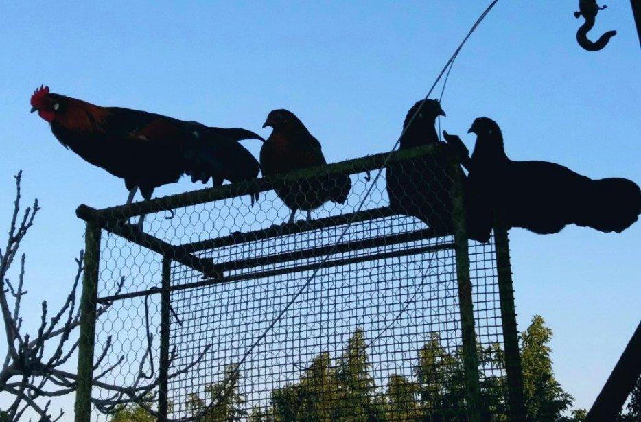 בנות כנף יושבות על הגדר. צולם על ידי ציפי לזר