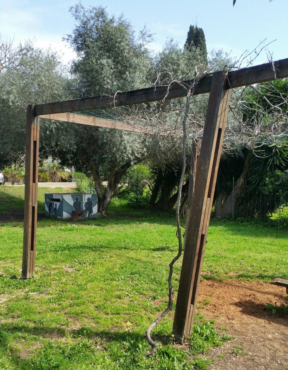 גפן בשלכת ועץ זית בגן המייסדים. צילום-ליליק