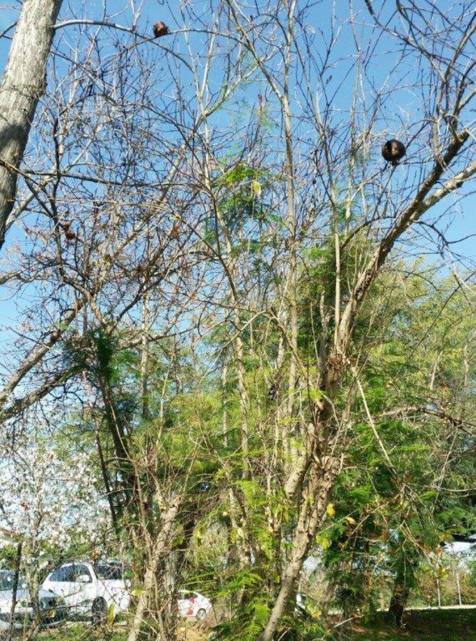 עץ הרימון בשלכת בגן המייסדים. צילום: ליליק