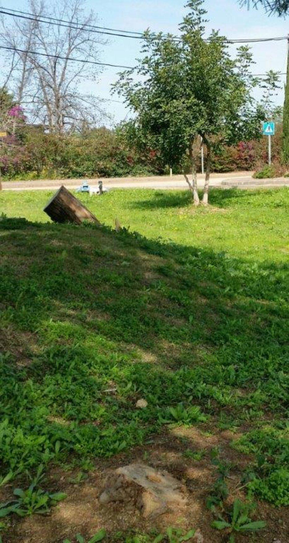 החרוב בגן המייסדים וגזעים של עצי התאנה שנגדעו. צילום: ליליק