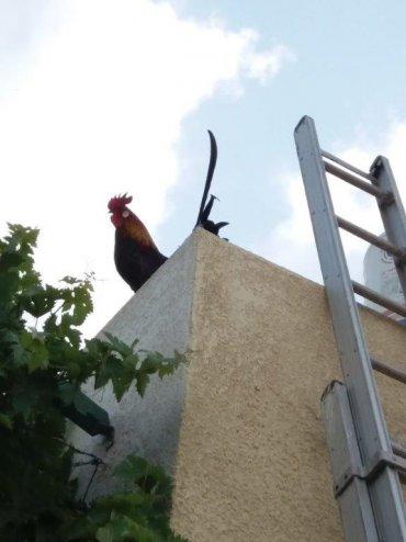 התרנגול של משפחת לזר. צילום: ציפי לזר