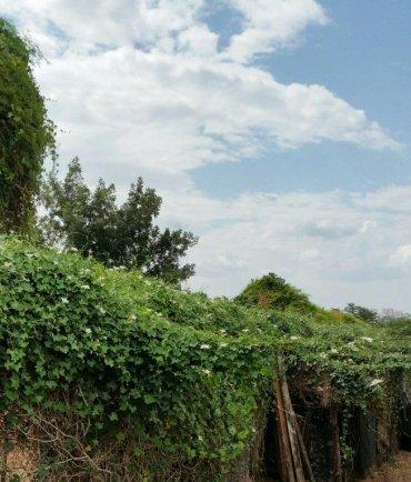 גדר חיה עם פרחים לבנים המשמשת מאכל לתאיילנדים. צילום: ל. זקס