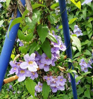 גדר חיה עם פריחה סגולה. צילום: ל. זקס