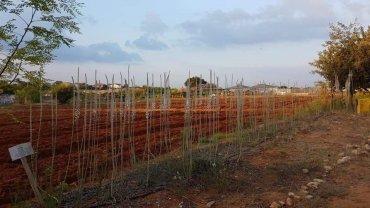 שדרת החצבים שצמחה בקצה השדה המעובד. צילום: אילה יפה